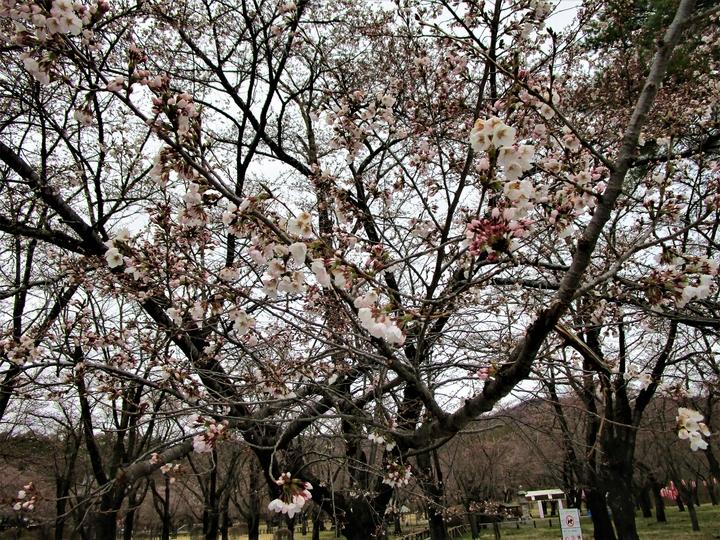 聖光寺桜 (2).JPG