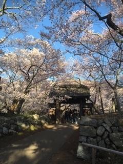 高遠桜①.jpg
