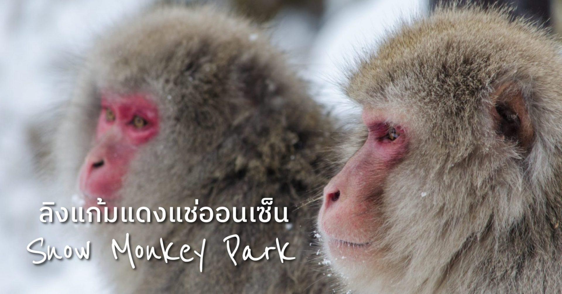 ดูลิงแก้มแดงขนฟู ตัวกลมน่ารักแช่ออนเซ็น – สวนลิงจิโกะคุดานิ