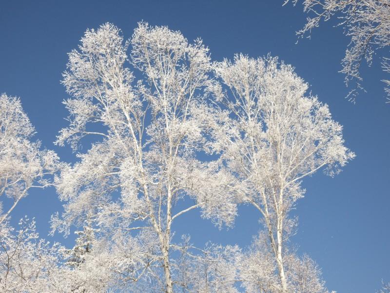 <p>白樺の霧氷</p>